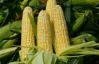 Сорт кукурузы: Свит 400 мв