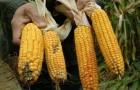 Сорт кукурузы: Циско