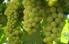 Сорт винограда: Цитронный магарача