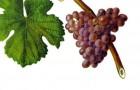 Сорт винограда: Траминер розовый
