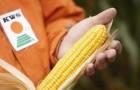 Сорт кукурузы: Ударник