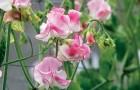 Сорт горошка душистого: Аленький цветочек