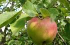 Если кору яблони объели зайцы