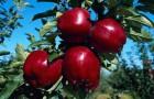 Как готовить место для посадки яблони
