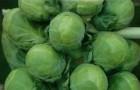 Сорт капусты брюссельской: Касио