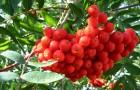 Маска из ягод рябины