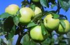 Заблаговременное приготовление посадочной ямы для яблони