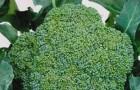 Сорт капусты брокколи: Агасси f1