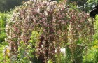 Сорт яблони декоративной: Алая плакучая