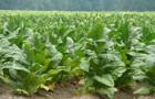 Сорт табака: Берлей краснодарский