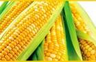 Сорт кукурузы сахарной: Челл