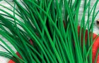 Сорт лука шнитта: Чемал