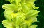 Сорт капусты гладиолуса: Эмеральд риппл