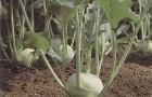 Сорт капусты кольраби: Едер рз f1