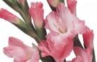 Сорт капусты гладиолуса: Ефимка