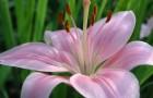 Сорт лилии: Фламинго