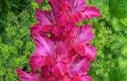 Сорт капусты гладиолуса: Флос