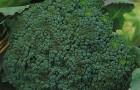 Сорт капусты брокколи: Фортуна