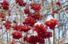 Сорт калины: Гранатовый браслет