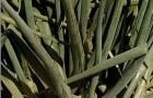 Сорт лука батуна: Исполин