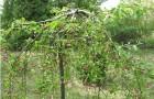 Сорт яблони декоративной: Изящная