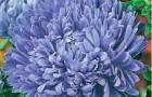 Сорт астры однолетней: Камелот синий