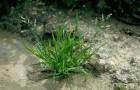 Сорт мятлика лугового: Карташевский