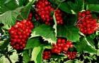 Сорт калины: Красная гроздь