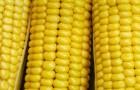 Сорт кукурузы сахарной: Лакомка