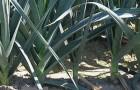 Сорт лука порея: Ланцелот