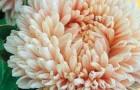 Сорт астры однолетней: Леди коралл шамоа