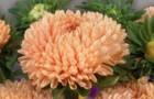 Сорт астры однолетней: Леди коралл светло-розовая