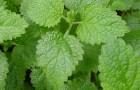 Сорт мелиссы лекарственной: Лимонный бальзам