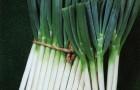 Сорт лука батуна: Лонг уайт кошигая