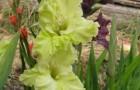 Сорт капусты гладиолуса: Лучистая зелень