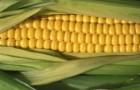 Сорт кукурузы сахарной: Макс