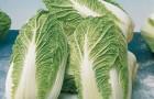 Сорт капусты пекинской: Маленькое чудо f1