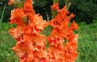 Сорт капусты гладиолуса: Марина цветаева