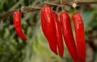 Сорт перца острого: Молния красная f1
