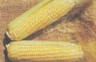 Сорт кукурузы сахарной: Монархия