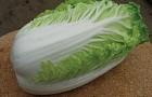 Сорт капусты пекинской: Наина f1