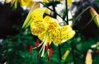 Сорт лилии: Натмегер