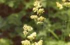 Сорт мятлика лугового: Ньюглейд
