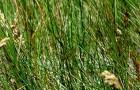 Сорт мятлика лугового: Оксфорд