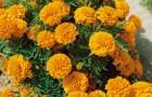 Сорт тагетеса: Оранжевые волны
