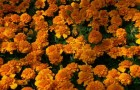 Сорт тагетеса: Оранжевый ковер