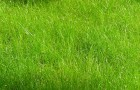Сорт мятлика лугового: Пандуро