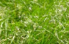 Сорт мятлика лугового: Парсифал