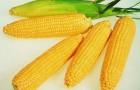 Сорт кукурузы сахарной: Порумбень 339 мв