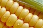 Сорт кукурузы сахарной: Порумбень 340 мв